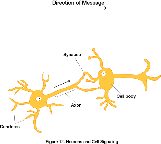 Neurons and Cell Signaling