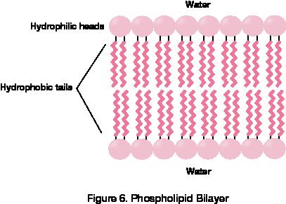 Phospholipid Bilayer