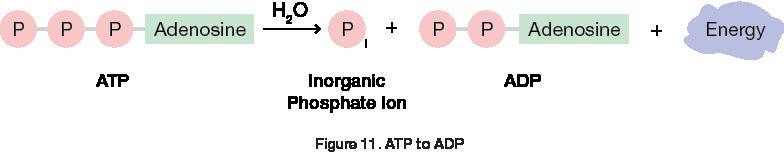 ATP to ADP