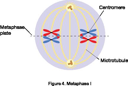 Metaphase I