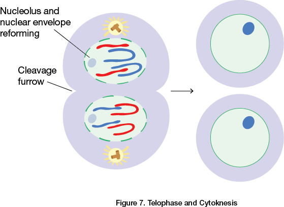Telophase and Cytoknesis